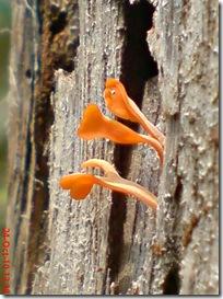 jamur kuning 38