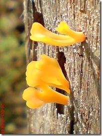 jamur kuning 39