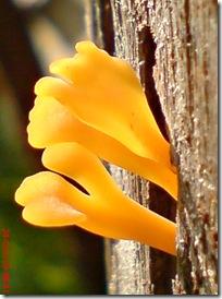 jamur kuning 41