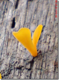 jamur kuning 52