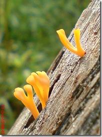 jamur kuning 63