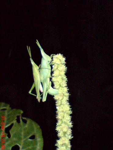 belalang hijau kawin di malam tahun baru 1