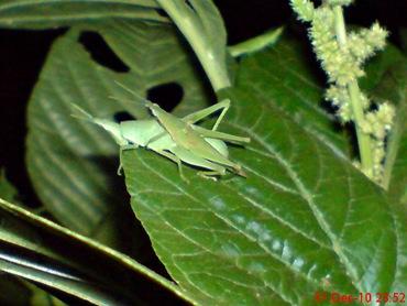 belalang hijau kawin di malam tahun baru 2
