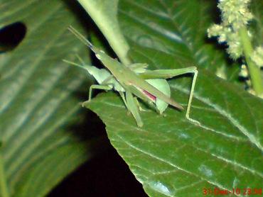 belalang hijau kawin di malam tahun baru 3