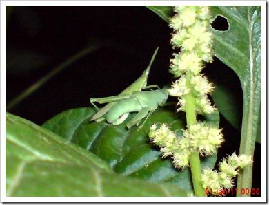 belalang hijau kawin di malam tahun baru 6