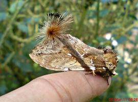 dudusa vethi snellen_lepidoptera_moth_ngengat 01