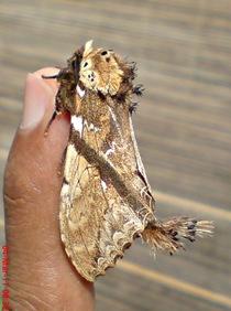 dudusa vethi snellen_lepidoptera_moth_ngengat 08