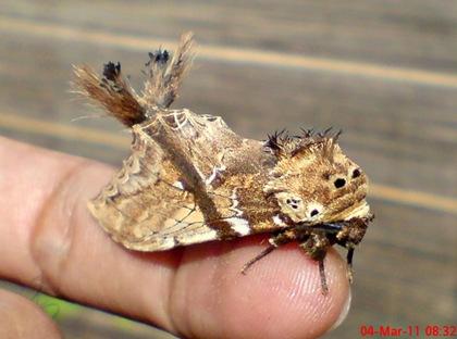 dudusa vethi snellen_lepidoptera_moth_ngengat 09