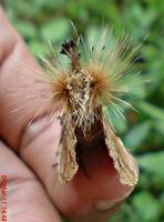 dudusa vethi snellen_lepidoptera_moth_ngengat 12