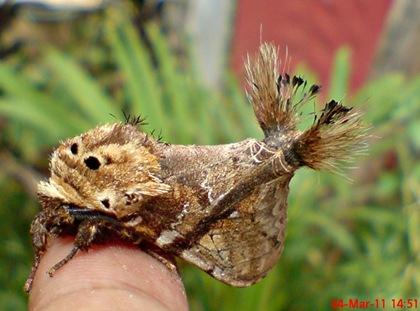 dudusa vethi snellen_lepidoptera_moth_ngengat 18