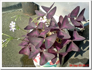 Oxalis triangularis_False Shamrock 1