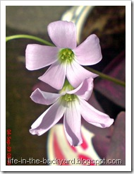 Oxalis triangularis_False Shamrock 2