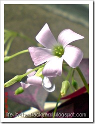 Oxalis triangularis_False Shamrock 5