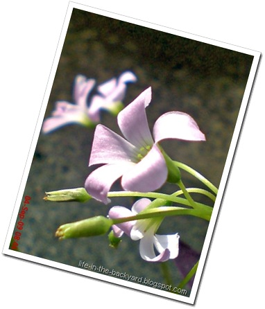 Oxalis triangularis_False Shamrock 6