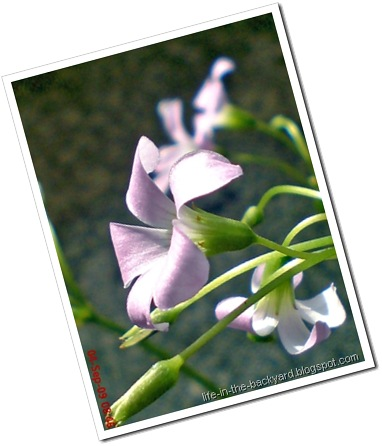 Oxalis triangularis_False Shamrock 7