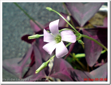 Oxalis triangularis_False Shamrock 8