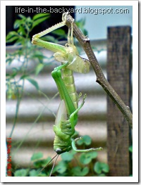 grasshopper molting 2