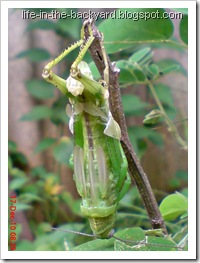 grasshopper molting 3
