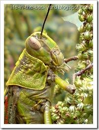Valanga nigricornis_Javanese Grasshopper_belalang kayu 15