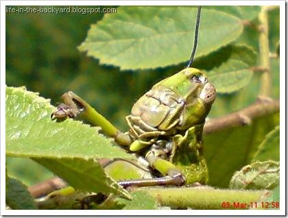 Valanga nigricornis_Javanese Grasshopper_belalang kayu 16
