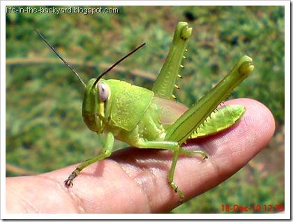 Valanga nigricornis_Javanese Grasshopper_belalang kayu 4