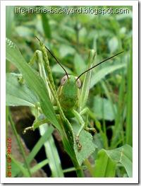 Valanga nigricornis_Javanese Grasshopper_belalang kayu 7