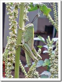 Valanga nigricornis_Javanese Grasshopper_belalang kayu 8