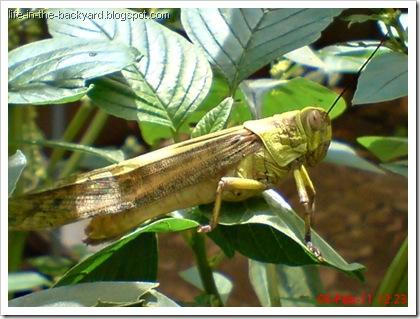 Valanga nigricornis_Javanese Grasshopper_belalang kayu