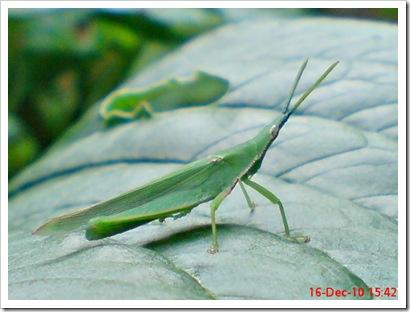 Belalang Atractomorpha crenulata jantan